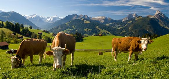 GSTAAD-FESTIVAL-les-vaches-en-suisse-presentation-festival-GSTAAD-menuhin-presentation-par-classiquenews-gstaad-menuhin-festival-academy