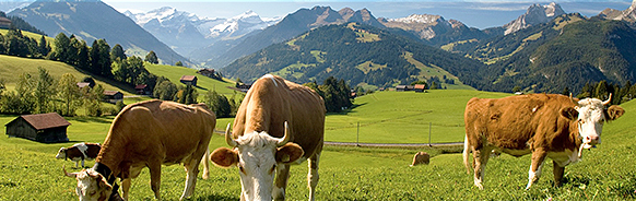 GSTAAD suisse vaches r faux copyright annonce concert menuhin gstaad festival and academy 2018 classiquenews