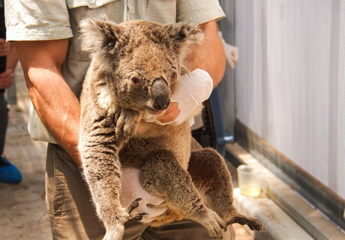 Koalas australie feu caleb  micah irwin  classiquenews Image-1024-1024-13762584