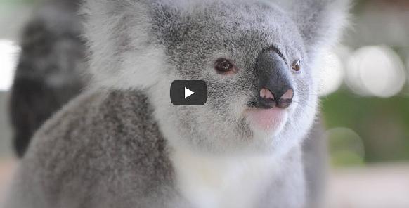 koalas-australie-extinction-sauvons-les-koalas-australie-classiquenews